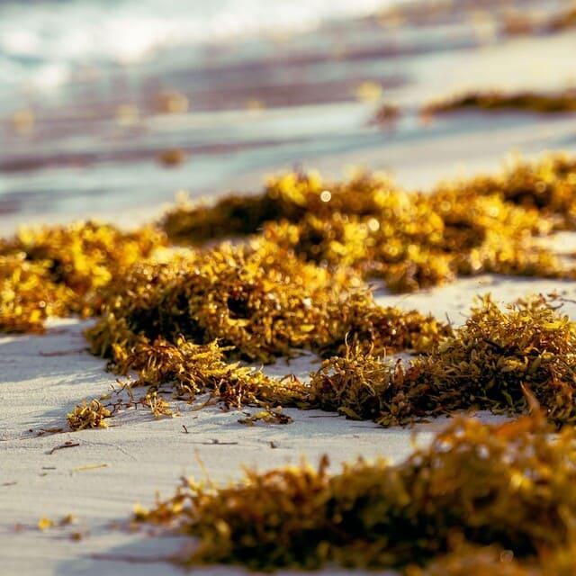 Fonti-vegetali-di-omega-3-Alghe-marine